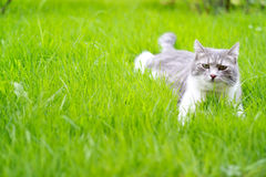 Chat détendant sur l'herbe Photos stock
