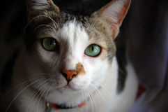 Chat d'Adrable image stock