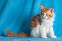 Chat d'animal familier Photos libres de droits
