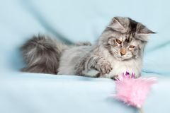 Chat d'animal familier image libre de droits