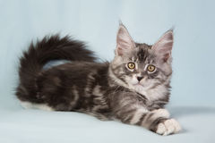 Chat d'animal familier de chaton Photos stock