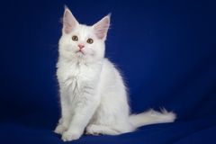 Chat d'animal familier de chaton Photos libres de droits