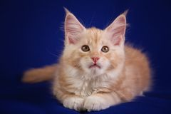 Chat d'animal familier de chaton Photo libre de droits