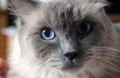 Chat d'oeil bleu Photographie stock