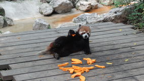 Chat d'ours (panda rouge) Photo stock