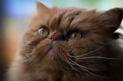 Chat d'or persan avec les yeux d'or Photo stock