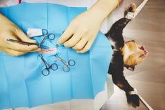 Chat dans l'hôpital vétérinaire photos libres de droits