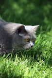 Chat dans l'herbe Photographie stock