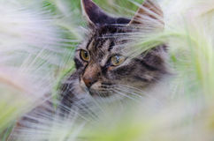 Chat dans l'herbe Images libres de droits