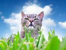 Chat dans l'herbe Photo libre de droits