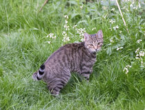 Chat dans l'herbe Images stock