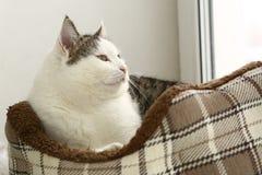 Chat dans la fin confortable de lit d'animal familier vers le haut de la photo Image libre de droits