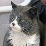 Chat dans la maison Gray Cat images stock