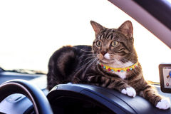 Chat dans la voiture Photos libres de droits