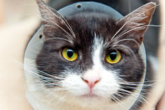 Chat dans le collier de cône Image libre de droits
