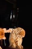 Chat dans le miroir Photographie stock libre de droits