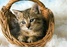 Chat dans le panier Image stock