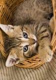 Chat dans le panier Photographie stock libre de droits