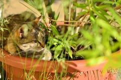 Chat dans le pot de fleurs Photographie stock