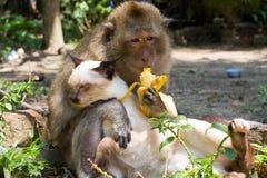 Chat dans les mains d'un singe Photographie stock