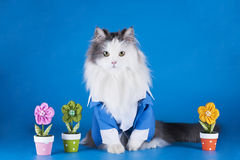 Chat dans un costume Photographie stock