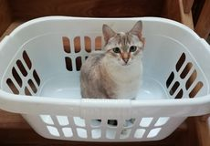Chat dans un panier de blanchisserie image stock