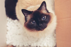 Chat dans une boîte en carton Image stock