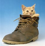 Chat dans une chaussure Photographie stock