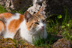 Chat dans une herbe de source Images libres de droits