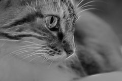 Chat de B&w Photo stock