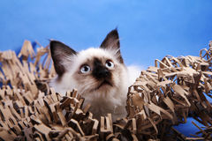 Chat de Birma Photo stock
