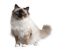 Chat de Birman, 11 mois Photographie stock