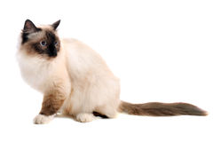 Chat de Birman Photo libre de droits
