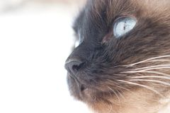 Chat de Birman Photographie stock
