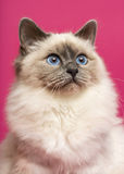Chat de Birman, recherchant, sur le fond rose Photos stock