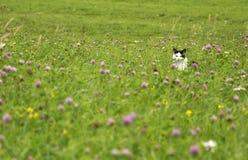 Chat de cachette sur le pré d'été Photographie stock libre de droits