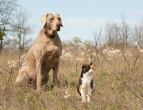 Chat de calicot avec son ami de chien de Weimaraner s'asseyant dans l'herbe Photographie stock libre de droits