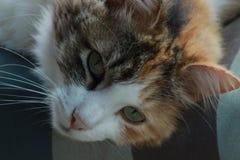 Chat de calicot détendant dans la chaise de plate-forme Photo stock