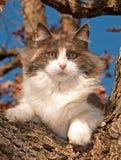 Chat de calicot dilué magnifique vers le haut dans un arbre photo stock