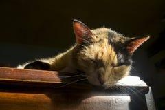 Chat de calicot en soleil photo stock