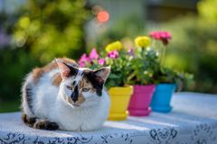 Chat de calicot s'étendant sur la nappe de dentelle avec les pots de fleur colorés Images libres de droits