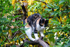 Chat de calicot tricolore d'animal familier Photographie stock libre de droits