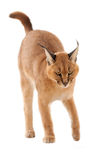 Chat de Caracal Photo libre de droits
