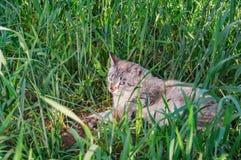 Chat de CAT avec des yeux bleus se situant dans l'herbe grande verte image libre de droits