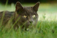 Chat de chasse dans l'herbe Image stock