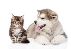 Chat de chien de malamute d'Alaska et de ragondin du Maine ensemble Foyer sur le chien D'isolement Photos stock