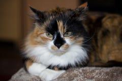 chat de couleur trois avec les yeux jaunes en gros plan Photo libre de droits