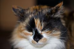 chat de couleur trois avec les yeux jaunes en gros plan Image stock
