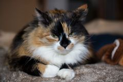 chat de couleur trois avec les yeux jaunes en gros plan Photographie stock libre de droits