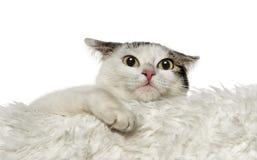 Chat de croisement se penchant sur le tapis blanc (1,5 ans) Photos libres de droits